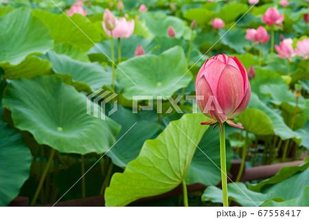 早朝の池に咲く美しい古代ハスの花 67558417