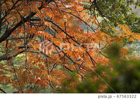 茶系の紅葉を前面に緑葉の手前ボケ 67563322