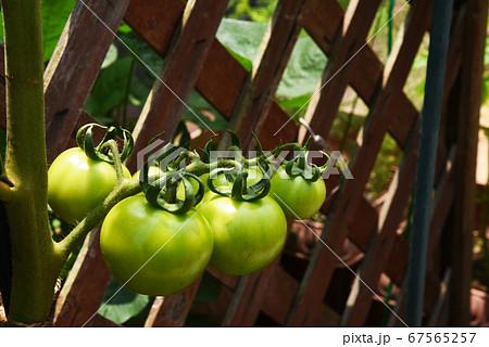 家庭菜園 ベランダの未熟な中玉トマト 67565257