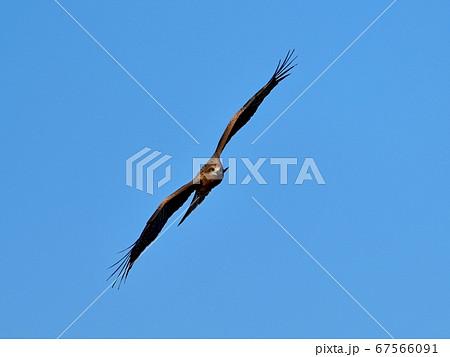 青空バックに旋回するトビの飛翔シーン 67566091