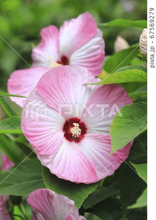 アメリカフヨウ(アメリカ芙蓉)の花  67569279