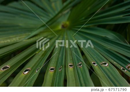 シュロの木の放射状の葉と横ライン状の穴 67571790