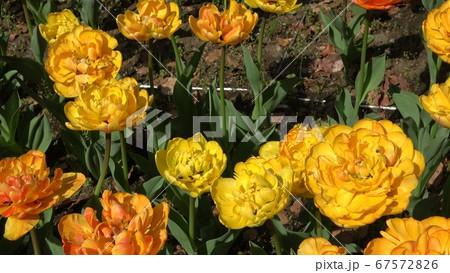 薔薇の彩を競う様に大輪の黄色い薔薇 67572826