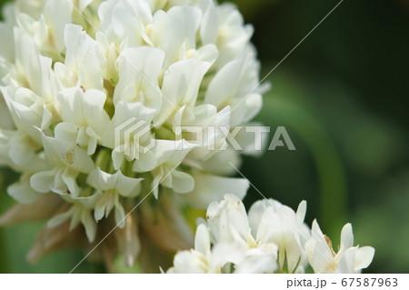 シロツメクサの花 大クローズアップ 67587963