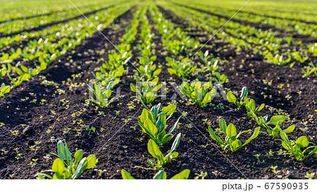 見沼田んぼの野菜畑 67590935