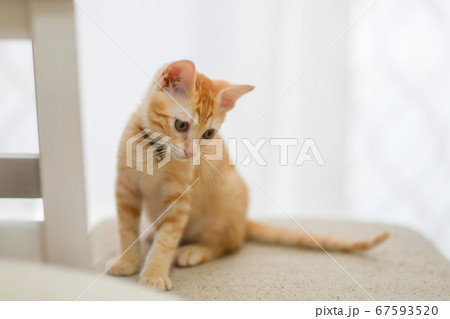 何かを見つめる茶トラの可愛い子猫 67593520