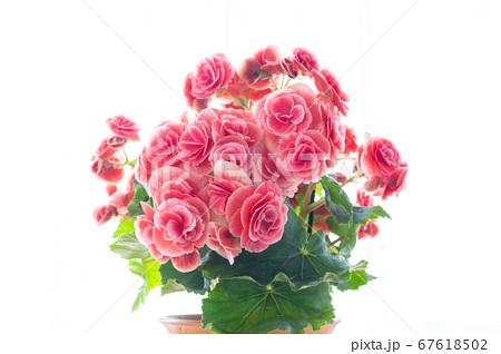明るい綺麗なリーガスベゴニア(エラチオールベゴニア)の花 67618502