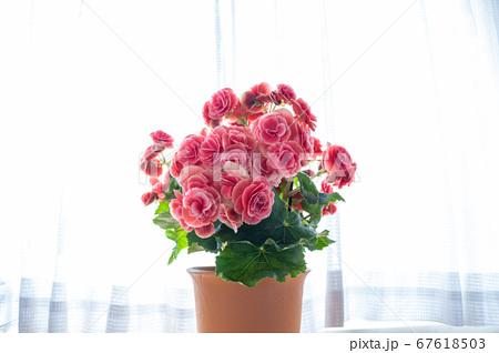 明るい綺麗なリーガスベゴニア(エラチオールベゴニア)の花 67618503