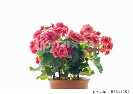 明るい綺麗なリーガスベゴニア(エラチオールベゴニア)の花 67618505
