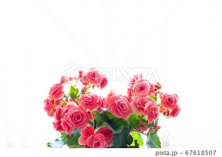 明るい綺麗なリーガスベゴニア(エラチオールベゴニア)の花 67618507