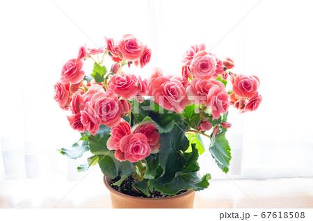 明るい綺麗なリーガスベゴニア(エラチオールベゴニア)の花 67618508