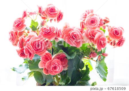 明るい綺麗なリーガスベゴニア(エラチオールベゴニア)の花 67618509