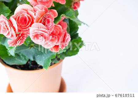 明るい綺麗なリーガスベゴニア(エラチオールベゴニア)の花 67618511