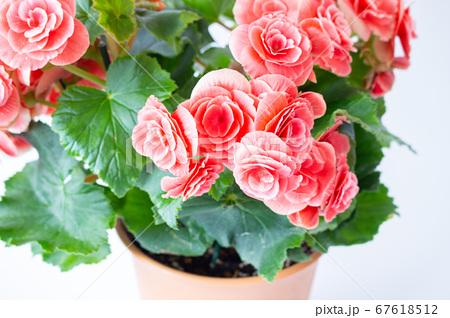 明るい綺麗なリーガスベゴニア(エラチオールベゴニア)の花 67618512