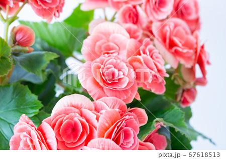明るい綺麗なリーガスベゴニア(エラチオールベゴニア)の花 67618513