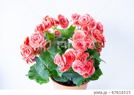 明るい綺麗なリーガスベゴニア(エラチオールベゴニア)の花 67618515