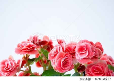 明るい綺麗なリーガスベゴニア(エラチオールベゴニア)の花 67618517