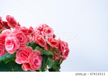 明るい綺麗なリーガスベゴニア(エラチオールベゴニア)の花 67618521