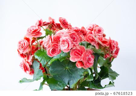 明るい綺麗なリーガスベゴニア(エラチオールベゴニア)の花 67618523