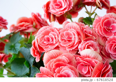 明るい綺麗なリーガスベゴニア(エラチオールベゴニア)の花 67618528