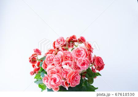 明るい綺麗なリーガスベゴニア(エラチオールベゴニア)の花 67618530