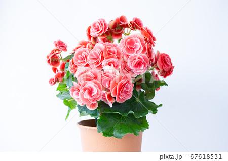 明るい綺麗なリーガスベゴニア(エラチオールベゴニア)の花 67618531