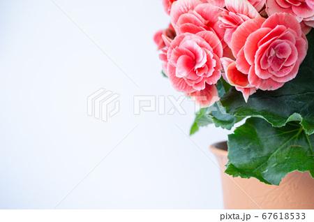 明るい綺麗なリーガスベゴニア(エラチオールベゴニア)の花 67618533