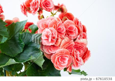 明るい綺麗なリーガスベゴニア(エラチオールベゴニア)の花 67618538