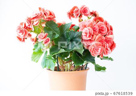 明るい綺麗なリーガスベゴニア(エラチオールベゴニア)の花 67618539