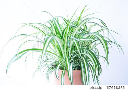明るい爽やかな観葉植物(オリヅルラン)のイメージ 白背景 67618886