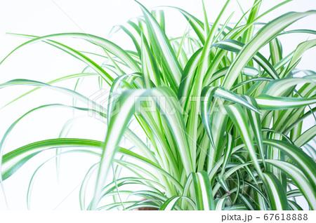 明るい爽やかな観葉植物(オリヅルラン)のイメージ 白背景 67618888