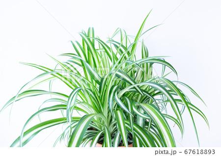 明るい爽やかな観葉植物(オリヅルラン)のイメージ 白背景 67618893