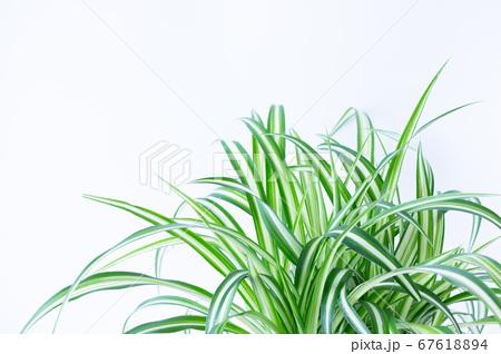 明るい爽やかな観葉植物(オリヅルラン)のイメージ 白背景 67618894