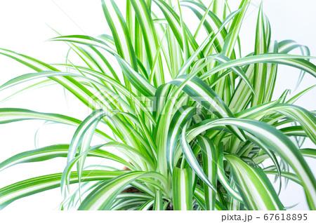 明るい爽やかな観葉植物(オリヅルラン)のイメージ 白背景 67618895
