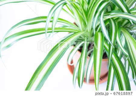 明るい爽やかな観葉植物(オリヅルラン)のイメージ 白背景 67618897