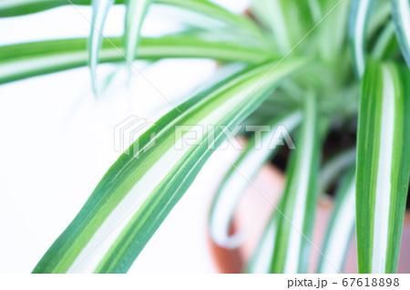 明るい爽やかな観葉植物(オリヅルラン)のイメージ 白背景 67618898