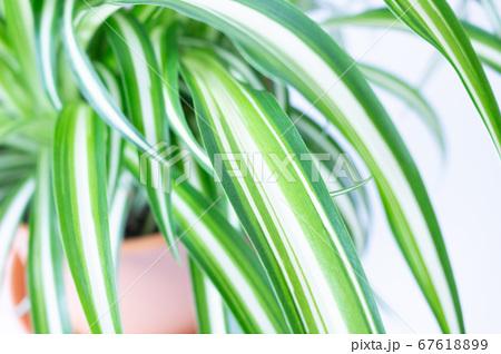 明るい爽やかな観葉植物(オリヅルラン)のイメージ 白背景 67618899