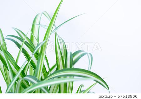 明るい爽やかな観葉植物(オリヅルラン)のイメージ 白背景 67618900