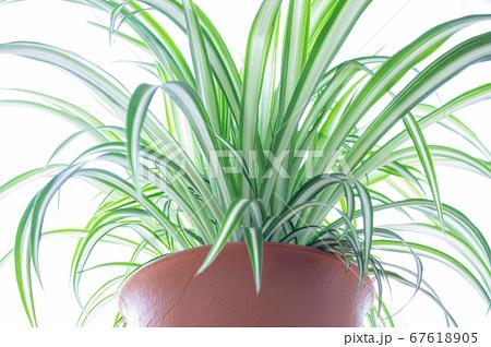 明るい爽やかな観葉植物(オリヅルラン)のイメージ 白背景 67618905