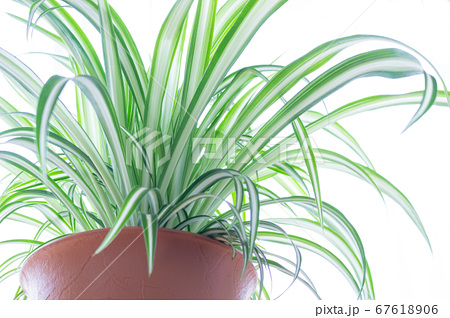 明るい爽やかな観葉植物(オリヅルラン)のイメージ 白背景 67618906