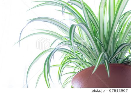 明るい爽やかな観葉植物(オリヅルラン)のイメージ 白背景 67618907