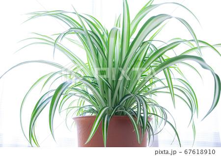 明るい爽やかな観葉植物(オリヅルラン)のイメージ 白背景 67618910
