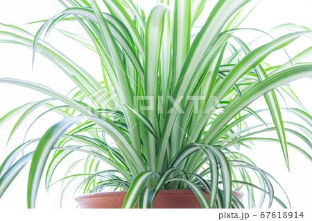 明るい爽やかな観葉植物(オリヅルラン)のイメージ 白背景 67618914