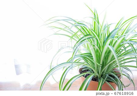 明るい爽やかな観葉植物(オリヅルラン)のイメージ 白背景 67618916
