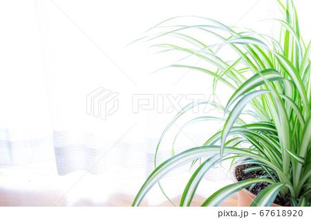 明るい爽やかな観葉植物(オリヅルラン)のイメージ 白背景 67618920
