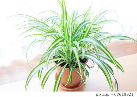 明るい爽やかな観葉植物(オリヅルラン)のイメージ 白背景 67618921
