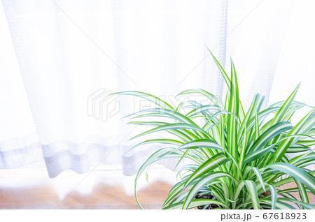 明るい爽やかな観葉植物(オリヅルラン)のイメージ 白背景 67618923