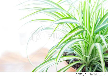 明るい爽やかな観葉植物(オリヅルラン)のイメージ 白背景 67618925