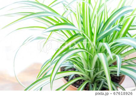 明るい爽やかな観葉植物(オリヅルラン)のイメージ 白背景 67618926