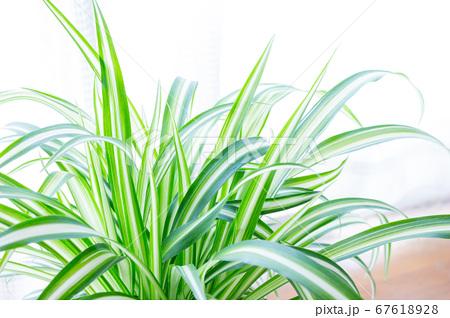 明るい爽やかな観葉植物(オリヅルラン)のイメージ 白背景 67618928